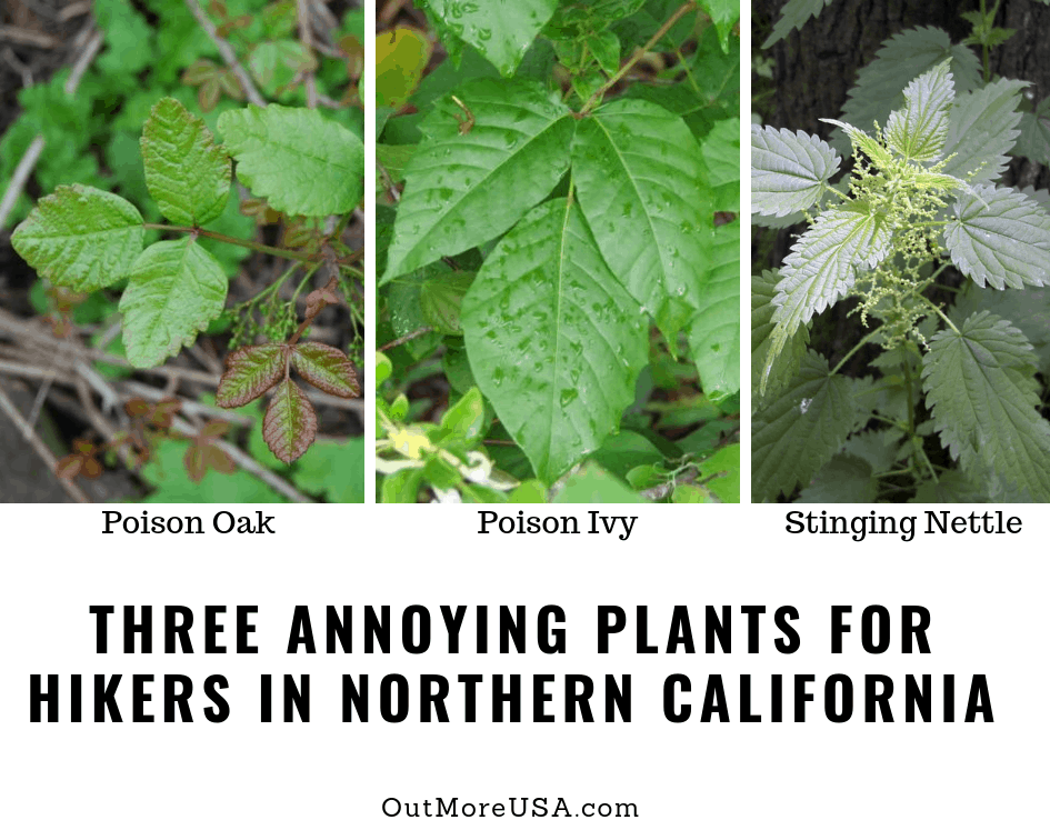 Here is what Poison Oak, Poison Ivy, and Stinging Nettle look like.  Avoid these plants when hiking in Northern California.