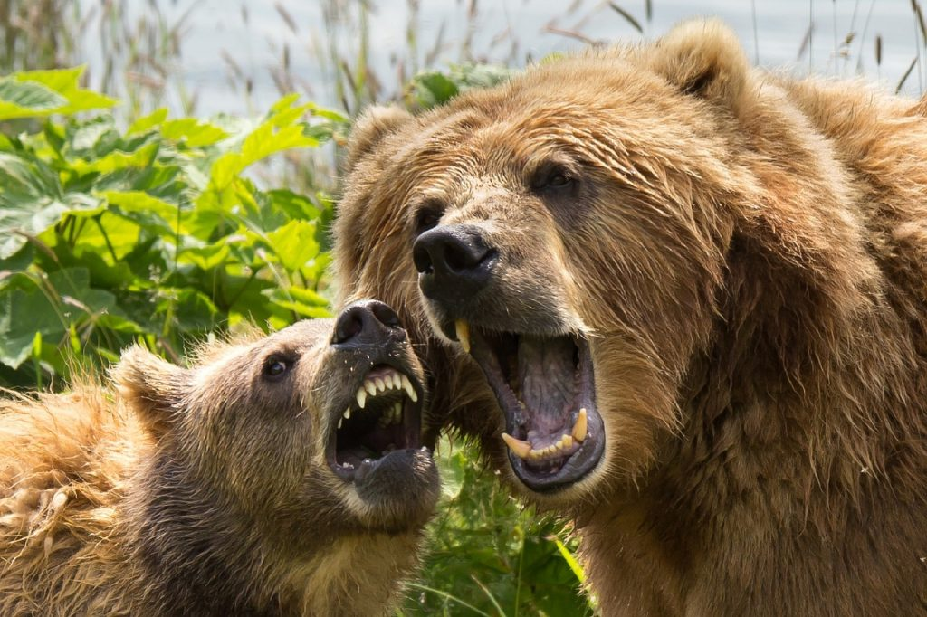 A bear and her cub playing with each other showing their teeth