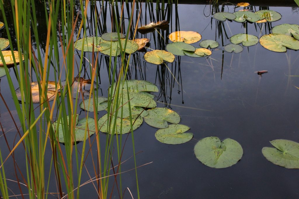 Pond water with grass and lily pads that may contain harmful bacteria