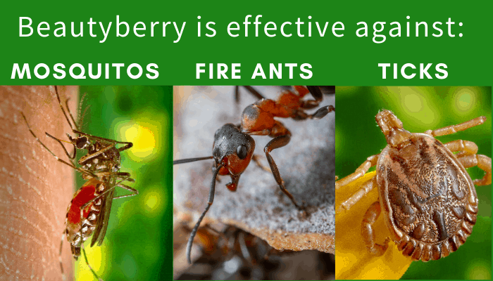 Beautyberry insect repellent recipes - effective against mosquitos, fire ants, and ticks