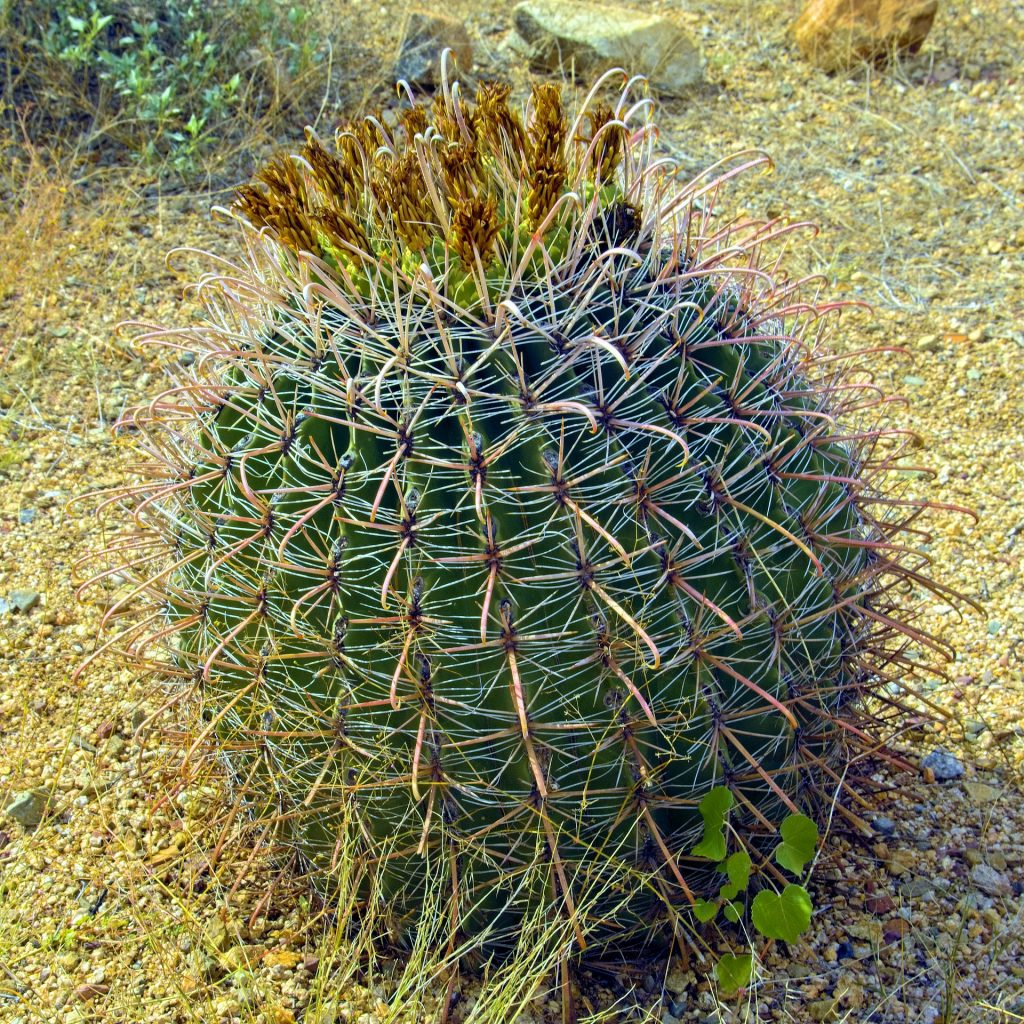 Barrel cactus is sometimes called a compass cactus because it leans to the south. Practice finding directions without using a compass to develop your bushcraft skills