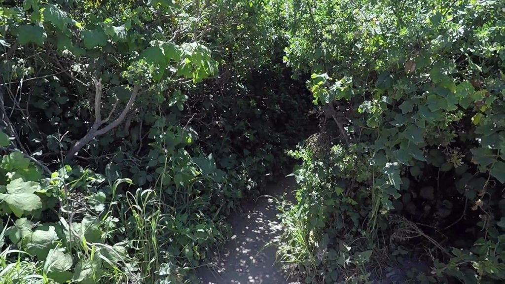 This is the overgrown shortcut trail to Alamere Falls off of the Coast Trail coming from Palomarin Trailhead